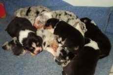 Dog Breeding Tips For Beginners – How To Breed Your Dog ; Re pin if you got value http://www.petnatics.com/dog-breeding/