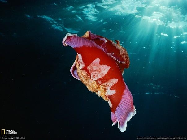 Моллюск испанский танцор (Hexabranchus sanguineus)