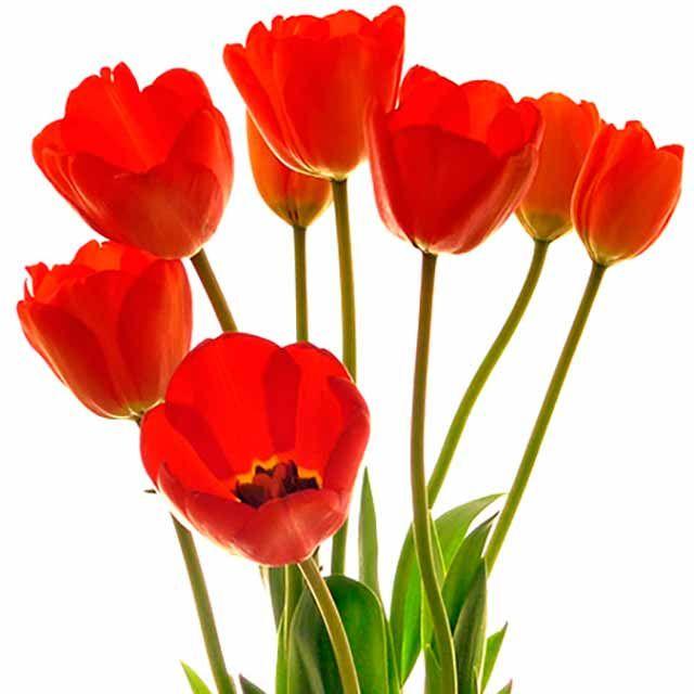 Imágenes de FLORES BONITAS de Amor, Amistad, ¿Qué Flores Hermosas Puedes Regalar?, Orquídeas, Tulipanes, Rosas Rojas, Girasoles, Imágenes de FLORES Bellas y Románticas.