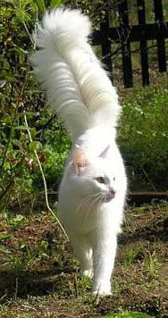 Physical Attributes of Turkish Angora Cats - #Differentcats- See more stunning Persian Cat Breeds at Catsincare.com!