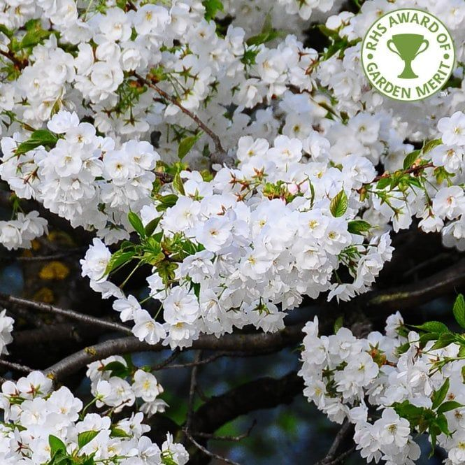 Prunus Shirotae Tree Ornamental Cherry Flowering Cherry Tree Cherry Blossom Flowers