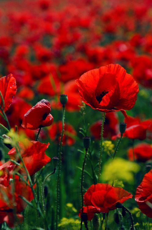 "unceasingobservation: "" field of poppies """