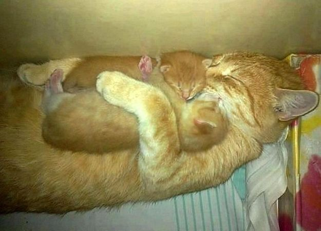 Mother cat hugging her kittens.... if I see this in person, I think I will scream of how amazingly tender this is!!