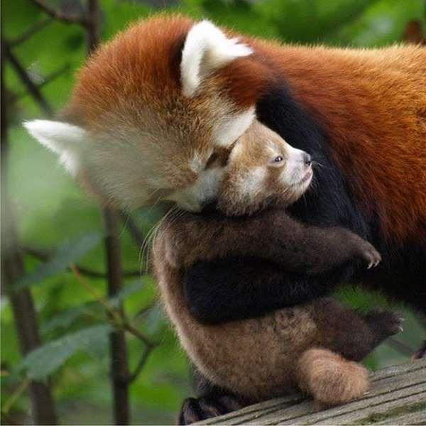 panda roux (21)