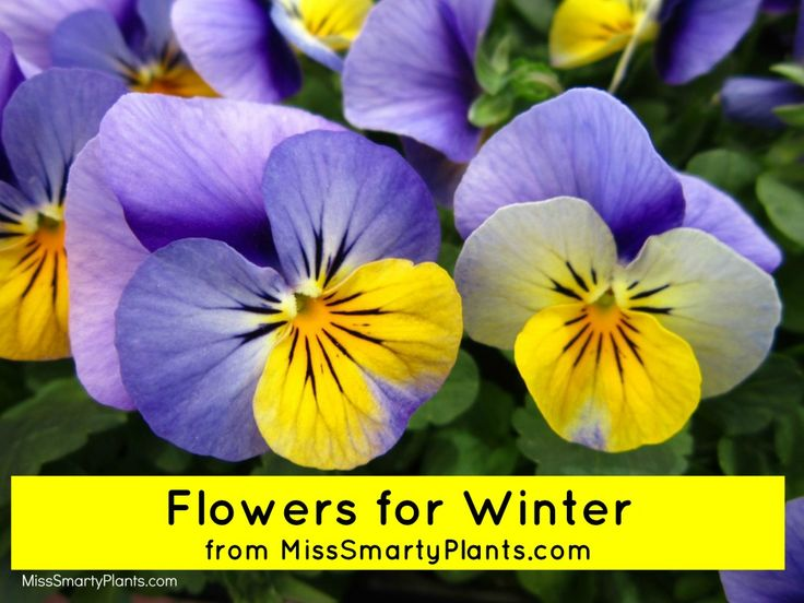 28 Best Winter Annuals For Florida Images On Pinterest