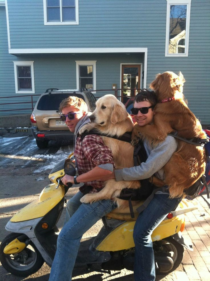 Excellent: Animals, Dogs, Pet, Funny, Things, Friend, Golden Retriever