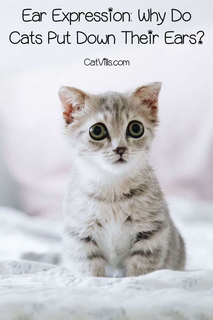 Why Do Cats Put Their Ears Down When They Re Scared In 2020 Cat Training Cat Behavior Cats