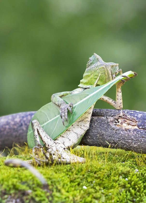 "Strumming on a leaf guitar! Photographer Aditya Permana caught this kick-backed lizard's ""performance"" in Indonesia."
