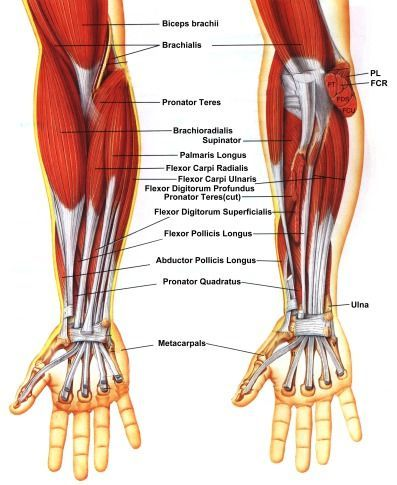 The brachioradialis is a pear/tear shape which goes from the lateral part of the bicep (away from body) to the thumb). In conjunction with the other palm side muscle group (consisting of several muscle segments) and the bicep we see an intersection of three interlocking main shapes. Note the white areas showing the tendons (attaching muscle to bone)