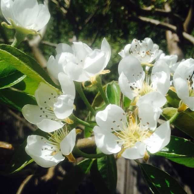 Pear in flower. Unlike a fig tree, pear tree would first flower, then bear fruits. #tree #spring #white #flower #pear #fruits #nature #leaves #sunshine #southernhemisphere #beauty #life