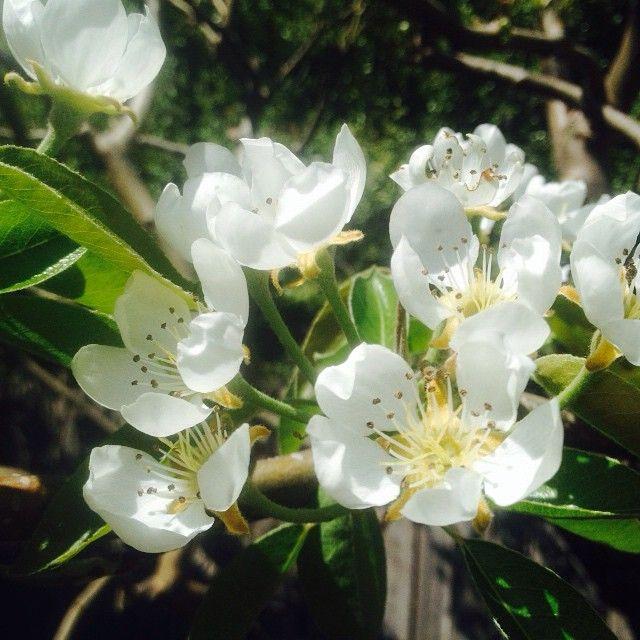 Pear in flower. Unlike a fig tree, pear tree would first flower, then bear…