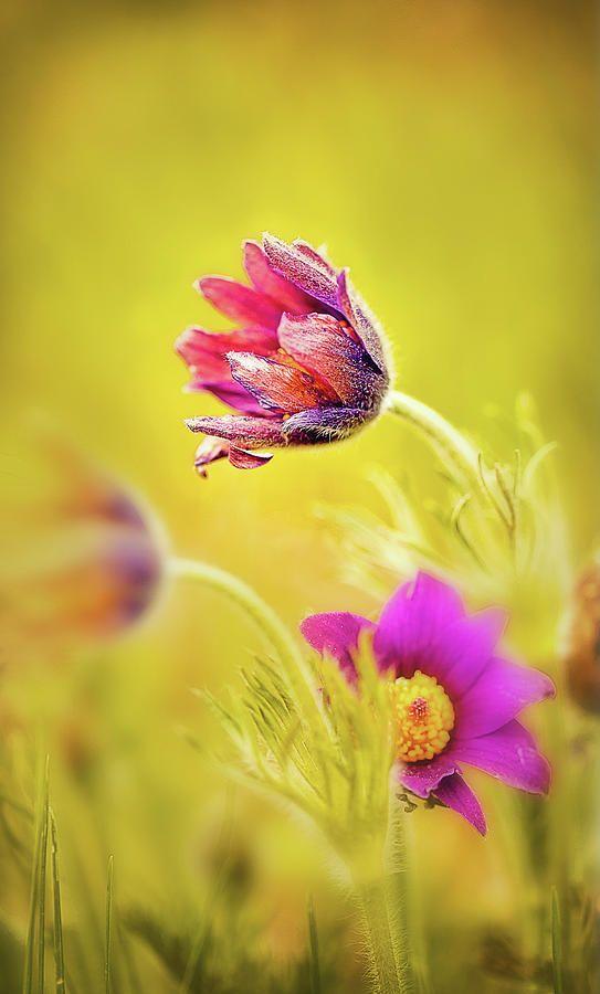 Spring Romantic Flower Photograph by Oksana Ariskina  #OksanaAriskina #OksanaAriskinaFineArtPhotography #ArtForHome #ArtForSale #FineArtPrints #InteriorDesign #Flower #Nature #Pink #Yellow #Art #Garden