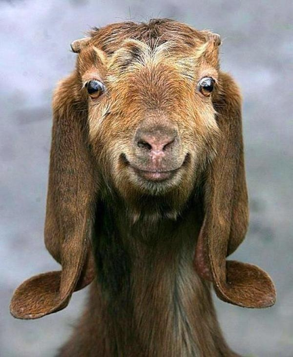 Be a Happy Little Chappy, SMILE, now you look just like MEEE.  Twitter / ZwartblesIE:: Faces, Smile Goats, Creatures, Funny Animal, Brown Bears, Happygoat,  Ursus Arcto,  Bruins, Happy Goats