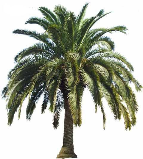 Palm Tree Types (cold hardy)  Canary Island Date Palm