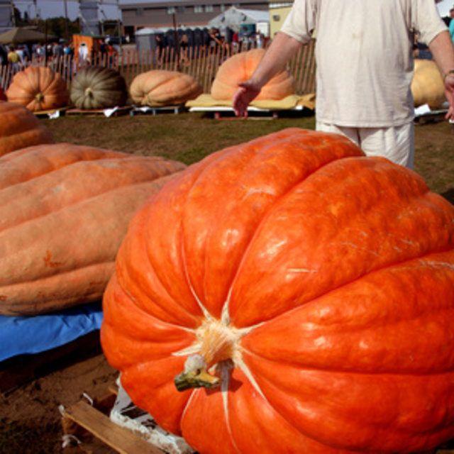 13 best grow assess pumpkins images on pinterest for Best pumpkins to grow