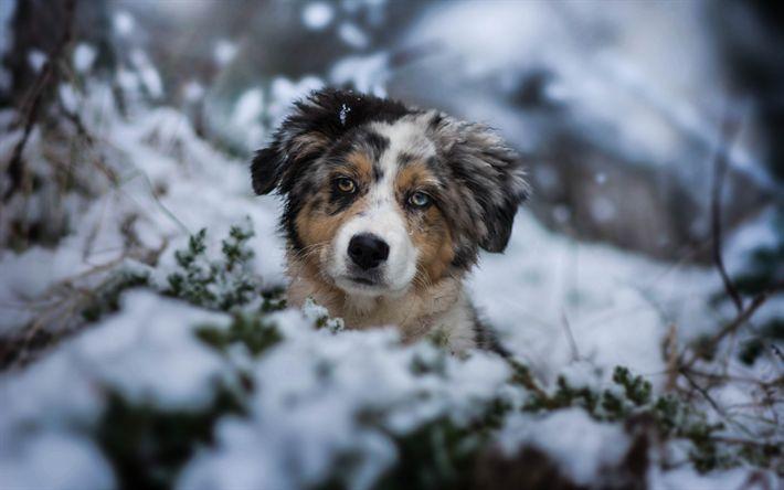 Télécharger fonds d'écran mignon chien, Berger Australien, Chiens, forêt, hiver, neige, Aussie, les animaux de compagnie, chiot #australianshepherdpuppy