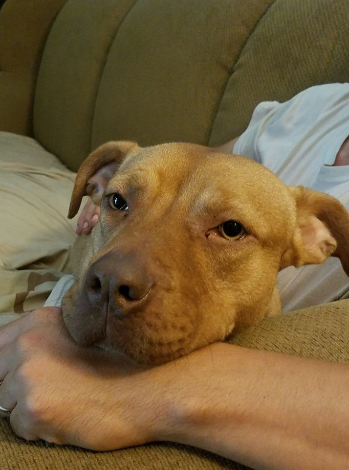 Adopt Shirley On Pitbull Terrier Pitbulls Bull Terrier Mix