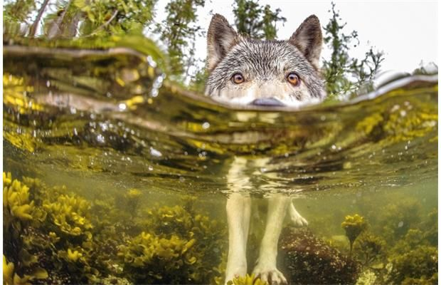 Ian McAllister's ('87) shot of sea wolf named one of National Geographic's favourites of 2015
