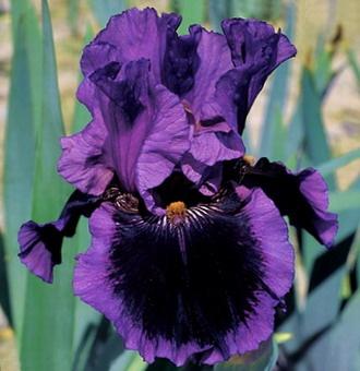 'Pagan Dance' Iris, TB reblooming