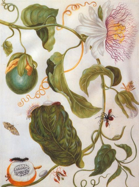 Maria Sibylla Merian, Passion flower plant and flat-legged bug, c. 1701-5