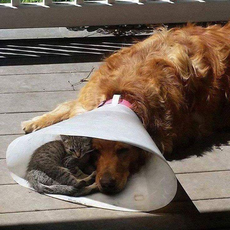 C'est chou, le chat compatie à la douleur de son ami le chien.❤