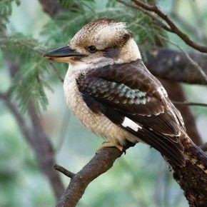 Webcam sul nido di una coppia di Kookaburra in diretta dall'Australia.