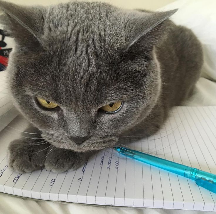 No chance to write down anything #britishshorthair #cats #grey #love #attention by noipakon