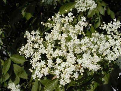 Klášterní sirup z květu černého bezu