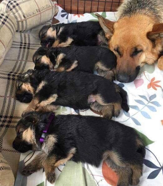 New GSD puppies!