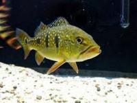 PREDATOR FISH UK - THE UK s NO.1 RARE FISH SPECIALIST at Aquarist Classifieds