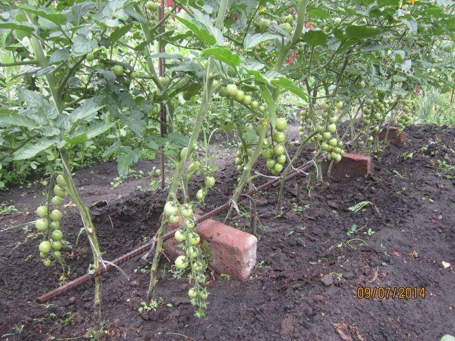 Опоры для томатов - стр. 9 - Томаты в открытом грунте - форум