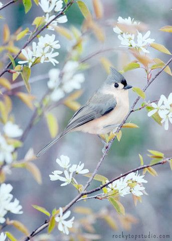 Fine art bird photography print of a sweet tufted titmouse in spring by Allison Trentelman.