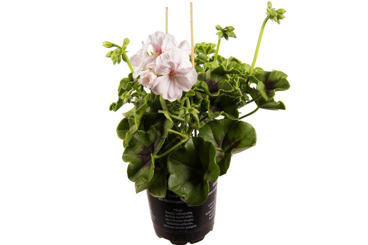 Pelargonium Peltatum Blanche Rouche