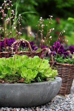 SAXIFRAGA LONDON PRIDE PLANTED WITH.. - Google Search
