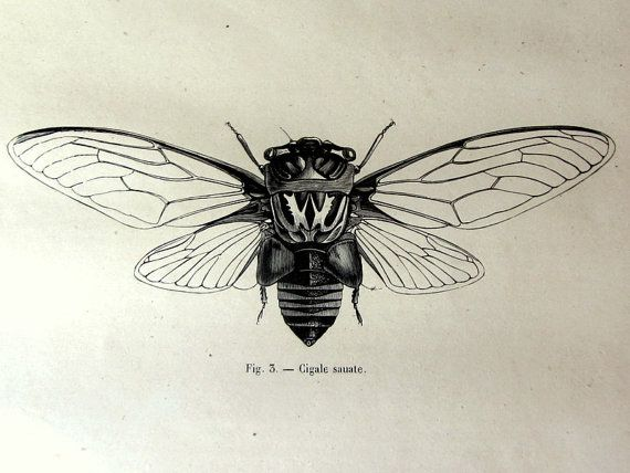 1860 vintage french gorgeous cicada print by LyraNebulaPrints. I'M GETTING THIS!