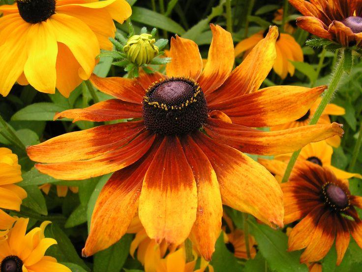 Rudbeckia bicolor Seeds  #theimmart #CODINDIA #techlaunches #exclusive #3DaysDelivery #buyatwebsite