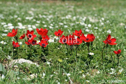 anemonlar