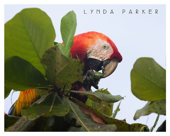 Scarlet Macaw Giclee Photograph - 8x10 on Etsy