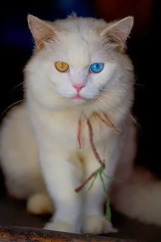 Myths behind different eye colors of Turkish Angora Cat. Click the pic to read full details.