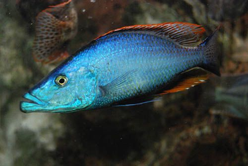 Dimidiochromis Compressiceps Pinterest ? the worlds catalog of ...