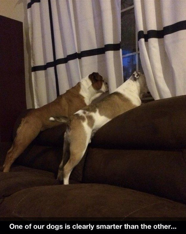And this dog who is staring at a curtain instead of out the window. | 31 Dogs Who Failed So Hard They Won