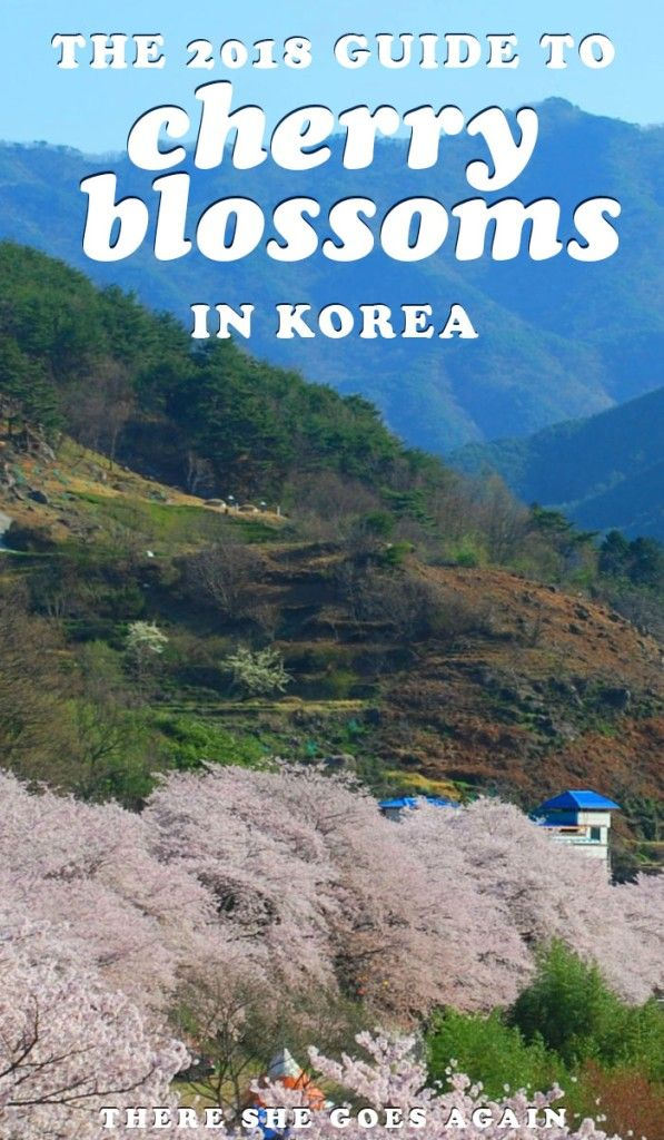 Cherry Blossoms Korea 2021 A Forecast Guide Where To Go Korea Travel South Korea Travel Cherry Blossom