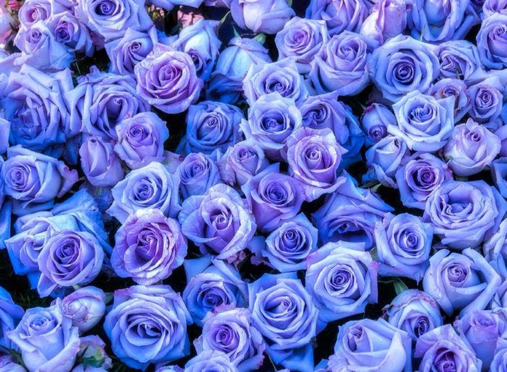 Purple Roses Background Images: 56 Best Images About Lavender & Purple Dreams On Pinterest