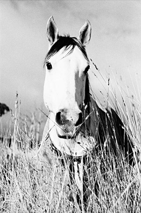 horse in cornfield