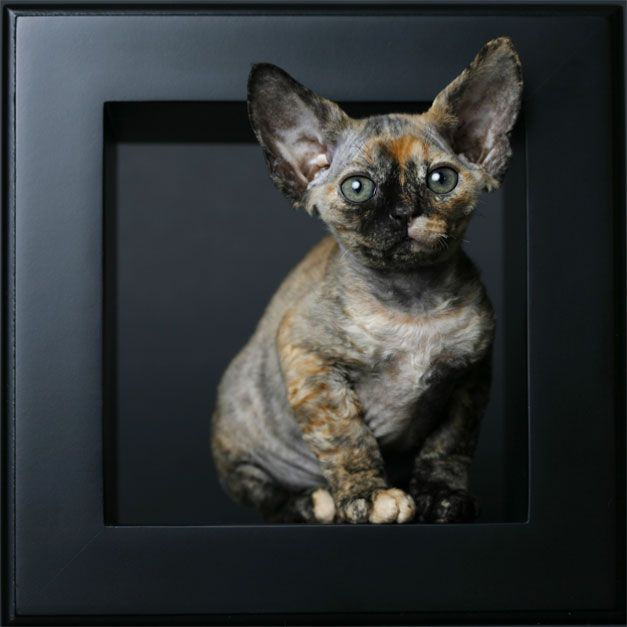 May I have a Devon Rex please?