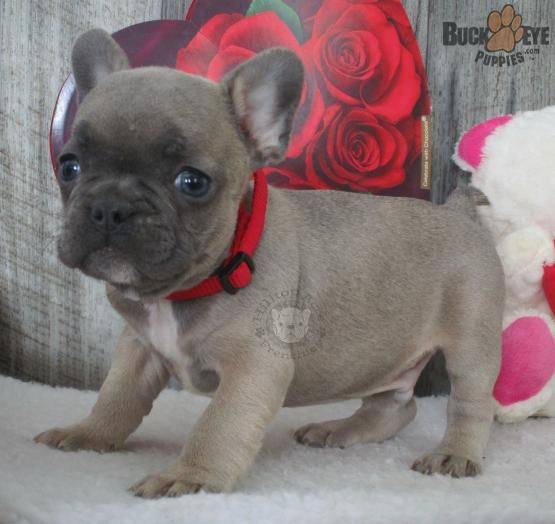 Chaz French Bulldog Puppy For Sale In Millersburg Oh Bulldog