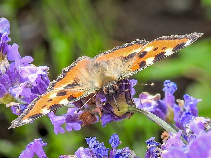From The Insect Kingdom I. - The small tortoiseshell (Aglais urticae L.)