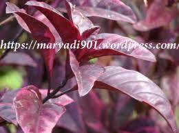 Bahan dari tanaman herbal Daun Ungu