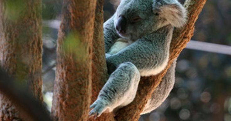 La información sobre el sistema reproductivo de un Oso Koala. El oso koala es un miembro de la clase taxonómica infra-Marsupialia. Como en la mayoría de los marsupiales, los sistemas de reproducción de la koala son similares en forma y función a los de los mamíferos placentarios (mamíferos que tienen una placenta) con más diferencias en las hembras. La reproducción del Koala tiene un periodo de gestación ...