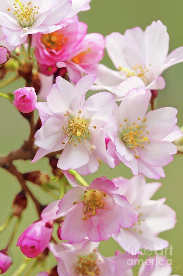 Sakura 1 By Regina Geoghan Flowers Photography Cherry Blossom Art Cherry Blossom Images